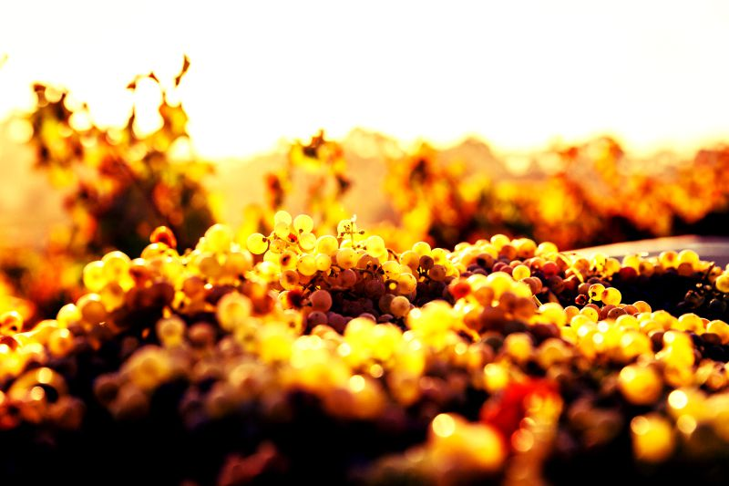 Grillo: frisfruitige druif uit Sicilië