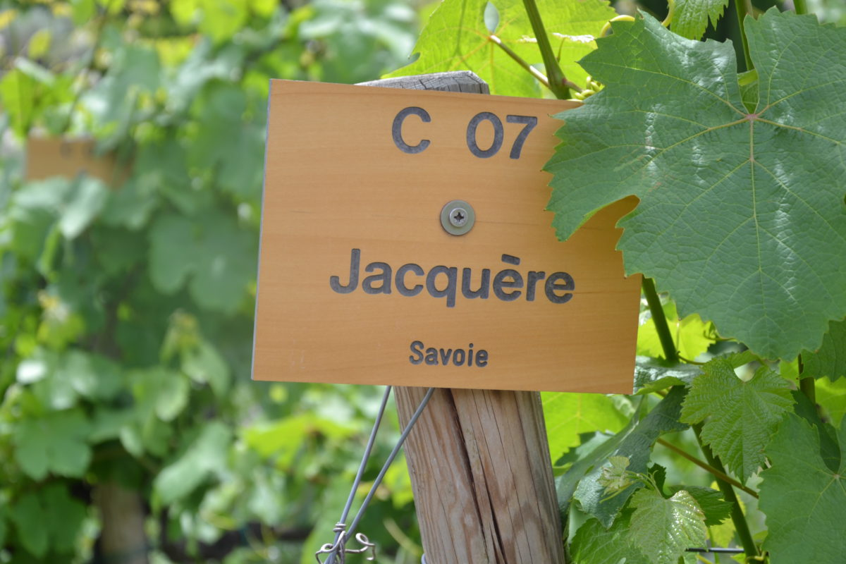 Jacquère: held uit de Alpen